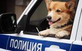 """""""Soái cẩu"""" nghiệp vụ Corgi """"nghỉ hưu"""", ngừng hoạt động trong ngành cảnh sát khiến bao người tiếc nuối"""
