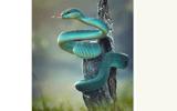 Video-Hot - Video: Cận cảnh loài rắn có màu xanh lam óng ánh như chim công, uốn éo duyên dáng trên cây khô