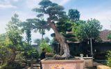 Kinh doanh - Cận cảnh cây duối cổ dáng Lão mai 400 tuổi giá tiền tỷ của ông thợ mộc ở Phú Thọ