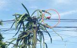 """Cộng đồng mạng - Trồng phải cây thanh long ra đúng 1 quả mọc ở chỗ hiểm, chủ nhà chỉ biết """"bó tay"""" chờ ngày quả rụng"""