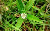 """Loại cỏ mọc dại đầy ruộng hóa ra là """"thần dược trời ban"""", nhà nào cũng nên trồng"""