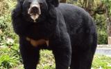 """Nhật Bản: Cụ bà 82 tuổi dùng tay không """"đại chiến"""", đánh gấu đen bỏ chạy vào rừng"""