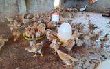 Tin trong nước - Để vợ nhận 1.000 con gà giống, Phó Chủ tịch xã bị kiểm điểm