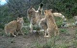 Video-Hot - Video: Những hình ảnh cực hiếm về loài mèo núi bí ẩn trên dãy Kỳ Liên Sơn