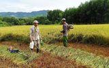 Cả nhà đi cách ly, hàng xóm chung tay giúp gặt lúa