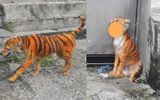 """Rụng rời vì """"con hổ"""" đi lại trong xóm, nhìn vào phần mõm của nó không thể nhịn được cười"""
