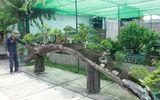 Mục sở thị khu vườn gần 1.000 cây cảnh bonsai hiếm có khó tìm của đại gia Hà thành, giá trị lên đến vài chục tỷ đồng