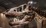 Tin thế giới - Bán đấu giá bộ xương khủng long lớn nhất thế giới