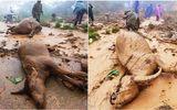 Tin trong nước - Nghệ An: Sạt lở đất kinh hoàng, người dân ngậm ngùi nhìn đàn trâu 8 con bị vùi lấp
