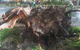 Tin trong nước - Người bị cây cổ thụ đè trên đường Nguyễn Tri Phương đã qua đời