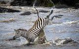 Video: Tránh được cá sấu, ngựa vằn vẫn phải chết thảm vì bị hà mã tấn công bất ngờ