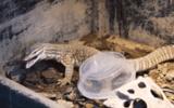 """Video: Bị nhốt chung với bọ cạp rừng, kỳ đà hung dữ """"xử đẹp"""" đối thủ ra sao?"""