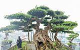Chiêm ngưỡng cây sanh cổ trăm tuổi phong hóa cùng thời gian, trị giá ngang căn chung cư của đại gia Hà Nội