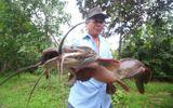 """Tin trong nước - Bơm nước ngoài ruộng, lão nông bắt được cá trê """"khủng"""" dài hơn 1 mét, có 8 sợi râu"""