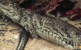 """Video-Hot - Video: Tưởng """"vớ"""" được lươn điện, """"quái vật đầm lầy"""" bị giật đến cứng đơ người"""