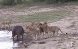 Video: Bị bầy sư tử cắn xé, trâu rừng có màn lật kèo ngoạn mục nhờ quyết định khôn ngoan