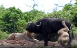 """Video-Hot - Video: Rơi vào thế gọng kìm của sư tử, trâu rừng quyết """"tử chiến"""" với chúa tể đồng cỏ"""