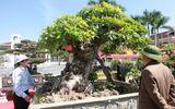 Kinh doanh - Chiêm ngưỡng cây lộc vừng trăm tuổi giá tiền tỷ được lão nông dành gần nửa cuộc đời tạo tác