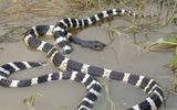 Nhiều loại rắn độc xuất hiện trong nhà dân sau khi trận lũ lịch sử ở miền Trung