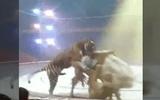 """Video: Hổ ăn thịt """"bạn diễn"""" ngay trên sân khấu rạp xiếc"""