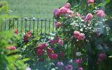 """""""Lạc lối"""" giữa vườn hồng đẹp như tranh vẽ của cô giáo người Việt tại Đức"""