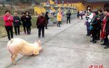 """Clip chú lợn quỳ gối hàng tiếng đồng hồ trước cửa chùa khi bị bắt tới lò mổ khiến dân mạng """"dậy sóng"""""""