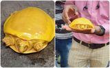 Cộng đồng mạng - Giải mã bí ẩn về con rùa có màu vàng quý hiếm đang gây bão mạng xã hội