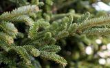 Chưa đến giáng sinh, cây thông ngoại đã gây sốt thị trường, đắt như vàng nhiều người vẫn tranh nhau mua