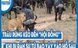 """Video: Trâu rừng kéo đến """"hội đồng"""" khi bị đàn sư tử bao vây vào hố sâu"""