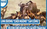 """Video: Linh dương """"chơi ngông"""" tấn công lại 25 con chó hoang và cái kết thảm hại"""