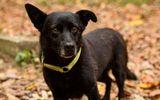 Cảm động chú chó mù lầm lũi đi gần 30km tìm về với chủ cũ dù được gia đình mới nhận nuôi
