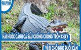 Video: Hài hước cảnh cá sấu cuống cuồng trốn chạy vì bị chó nhỏ đuổi cắn