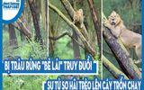 """Video: Bị trâu rừng """"bẻ lái"""" truy đuổi, sư tử sợ hãi trèo lên cây trốn chạy"""