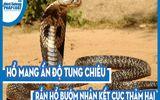 Video: Kinh hoàng hàng chục rắn hổ mang chúa lúc nhúc trong thân dừa mục