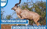 Video: Thoát khỏi đàn chó hoang, linh dương Kudu rơi vào địa phận của hà mã và cái kết đau đớn
