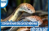 Video: 2 con rắn hổ mang chúa cắn chặt miệng nhau xoay tít, kết cục ra sao?