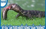 """Video: Kỳ đà """"ăn tươi nuốt sống"""" rắn """"khủng"""""""