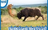 Video: Trâu rừng cả gan húc trộm sư tử và cái kết