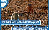 Video: Kinh hoàng cảnh cầy mangut vàng sục sạo, điên cuồng truy tìm rắn hổ mang chúa