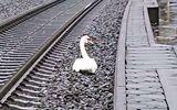 """Con thiên nga """"nằm lì"""" giữa đường ray, 20 chuyến tàu bị hủy, biết sự thật ai cũng rơi nước mắt"""