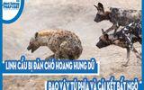 Video: Linh cẩu bị đàn chó hoang hung dữ bao vây tứ phía và cái kết bất ngờ