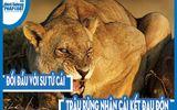 Video: Đối đầu với sư tử cái, trâu rừng nhận cái kết đau đớn