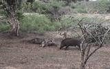 """Video: Báo đốm """"đại chiến"""" lợn rừng tranh giành con mồi, kẻ thứ 3 bỗng xuất hiện thay đổi kết cục"""