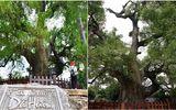 """Chiêm ngưỡng cây dã hương nghìn năm tuổi, """"thần mộc"""" độc nhất vô nhị ở Bắc Giang"""