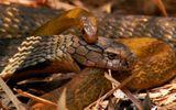 """Video: Cả gan """"xâm phạm lãnh thổ"""" vua của các loài rắn, con rắn chuột nhận kết thảm khốc"""