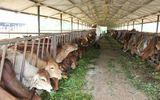 Dấu ấn của Thadi tại dự án nuôi bò nghìn tỷ ở Gia Lai