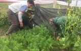 Hà Tĩnh: Phát hiện một gia đình trồng cây thuốc phiện trái phép