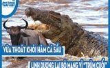 """Video: Vừa thoát khỏi hàm cá sấu, linh dương lại bỏ mạng vì """"trùm cuối"""""""