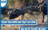 """Video: Bị đàn trâu rừng dàn trận tấn công, bầy sư tử """"co giò"""" bỏ chạy"""