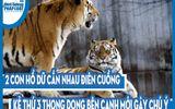 Video: 2 con hổ dữ cắn nhau điên cuồng, kẻ thứ 3 thong dong bên cạnh mới gây chú ý